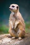 Meerkat. A meerkat at the zoo Stock Photos