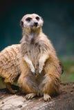Meerkat. At the zoo Stock Image