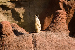 Meerkat at the Zoo Royalty Free Stock Photography