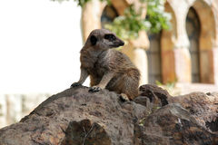 Meerkat at the zoo Royalty Free Stock Images