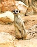 Meerkat in the zoo Stock Photo