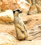 Meerkat in the zoo Royalty Free Stock Photos