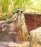 Meerkat in the zoo Stock Photos