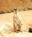 Meerkat in the zoo Stock Photos