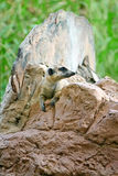 Meerkat at Zoo Royalty Free Stock Photos