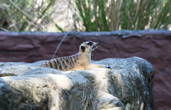 Meerkat at Zoo Stock Photos