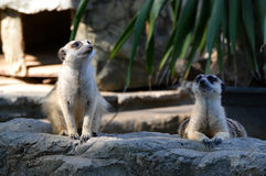 Meerkat at Zoo Stock Images