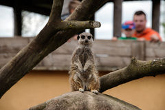 Meerkat in a zoo Royalty Free Stock Photos