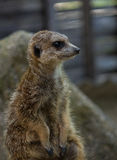 The meerkat in a zoo in Germany Stock Photos