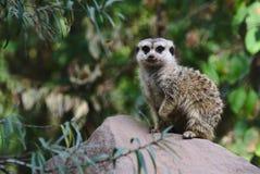 Meerkat, Zoo, Green, Guard, Animal Stock Photo