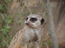 Meerkat in the zoo. Of Leipzig Royalty Free Stock Photo