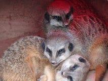 Meerkat in the zoo. Of Leipzig Royalty Free Stock Image