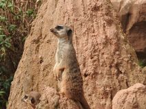Meerkat in the zoo. Of Leipzig Royalty Free Stock Photography