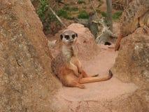 Meerkat in the zoo. Of Leipzig Royalty Free Stock Photos