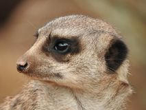 Meerkat in the zoo. Of Leipzig Stock Images