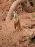 Meerkat in the zoo. Of Leipzig Stock Image