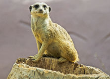 Meerkat. A meerkat in a zoo in Murcia, Spain Stock Photo