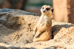 Meerkat in the zoo Stock Image