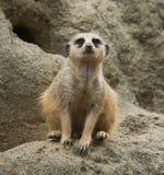 Meerkat in zoo. Meerkat sitting as sentry in Houston, Texas zoo Stock Image