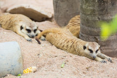 Meerkat in zoo Stock Photo