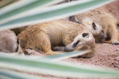 Meerkat in zoo Stock Photography