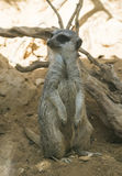Meerkat in the zoo Stock Photo