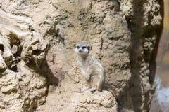Meerkat in the zoo. Suricata suricatta Stock Photography