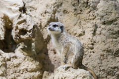 Meerkat in the zoo. Suricata suricatta Stock Image