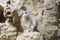 Meerkat in the zoo. Suricata suricatta Stock Photos