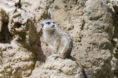Meerkat in the zoo. Suricata suricatta Royalty Free Stock Images