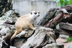 Meerkat in the zoo. Meerkat in the zoo in Thailand Stock Images
