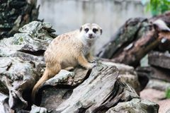 Meerkat in the zoo. Meerkat in the zoo in Thailand Royalty Free Stock Photography