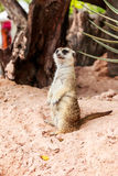 Meerkat at zoo Stock Image