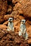 Meerkat zwei in der Wüste Lizenzfreie Stockfotos