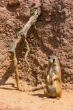 Meerkat zwierzęcy łaciński imię Suricata Suricatta w dzikim Szczegół afrykański zwierzęcy odprowadzenie na ziemi Czujny strzeżeni zdjęcie stock