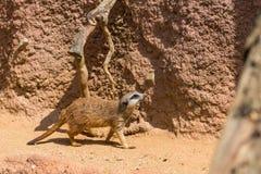 Meerkat zwierzęcy łaciński imię Suricata Suricatta w dzikim Szczegół afrykański zwierzęcy odprowadzenie na ziemi Czujny strzeżeni fotografia stock