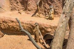 Meerkat zwierzęcy łaciński imię Suricata Suricatta w dzikim Szczegół afrykański zwierzęcy odprowadzenie na ziemi Czujny strzeżeni obrazy stock