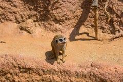 Meerkat zwierzęcy łaciński imię Suricata Suricatta w dzikim Szczegół afrykański zwierzęcy odprowadzenie na ziemi Czujny strzeżeni fotografia royalty free