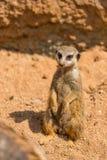 Meerkat zwierzęcy łaciński imię Suricata Suricatta w dzikim Szczegół afrykański zwierzęcy odprowadzenie na ziemi Czujny strzeżeni zdjęcie royalty free