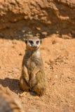 Meerkat zwierzęcy łaciński imię Suricata Suricatta w dzikim Szczegół afrykański zwierzęcy odprowadzenie na ziemi Czujny strzeżeni zdjęcia stock
