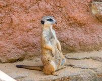Meerkat zwierzęcy łaciński imię Suricata Suricatta w dzikim Szczegół afrykański zwierzęcy odprowadzenie na ziemi Czujny strzeżeni obraz stock