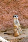 Meerkat zwierzęcy łaciński imię Suricata Suricatta w dzikim Szczegół afrykański zwierzęcy odprowadzenie na ziemi Czujny strzeżeni obraz royalty free