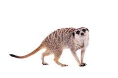 Meerkaten eller suricaten på vit Royaltyfria Foton
