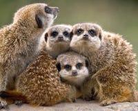 Meerkatfamilie stock foto's