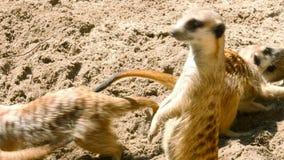 Meerkatfamilie het spelen stock videobeelden