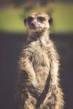 Meerkat,站立的Meercat (Surikate)挺直作为哨兵- Suricat 库存照片