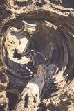 Meerkat,站立的Meercat (Surikate)挺直作为哨兵- Suricat 免版税库存照片