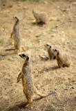 Meerkats传染性的太阳 免版税库存图片