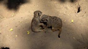 Meerkats在动物园里在夏天 影视素材