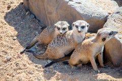 Meerkats小组 免版税库存照片
